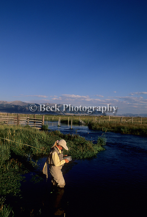 Cathy Beck choosing the right fly on Benharts spring creek, MZ Ranch, Belgrade, Montana.