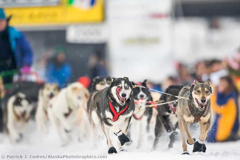 Sled dogs race out of the chute in Fairbanks on the Chena River at the start of the 1000 mile Yukon Quest sled dog race 2006, between Fairbanks, Alaska and Whitehorse, Yukon. Dubbed the toughest dogsled race in the world.