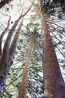 Norfolk Island Pine Araucaria heterophylla, tall tree looking up, Lotusland garden, Santa Barbara California