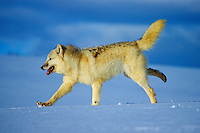 Arctic Gray Wolf running across snow covered terrain.