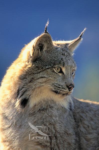 Lynx. Winter. North America. Felis lynx canadensis.