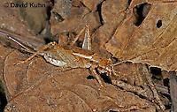0110-07yy  Jumping Bush Cricket - Orocharis saltator © David Kuhn/Dwight Kuhn Photography
