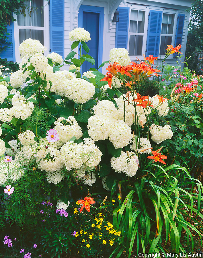 Provincetown, MA<br /> White flowering hydrangeas and orange day lilies blooming in front of a summer cottage with blue shutters and door.