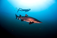 Ashley Futral, a member of the USA Freedive Team, swims next to a shark off the coast of North Carolina