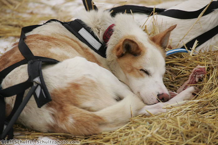 Mitch Seavey's dog rests at the Kaltag checkpoint.  2005 Iditarod Trail Sled Dog Race.