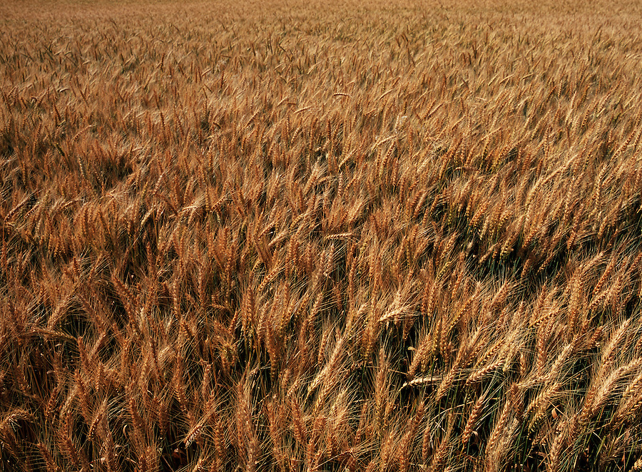 In the late summer the wheat of the Palouse is ready to be harvested.