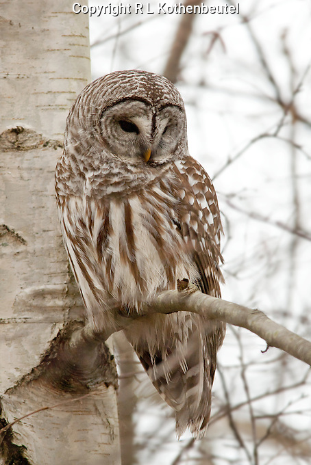 A barred owl perches near the trunk of a tree at rhe Reifel Migratory Bird Sanctuary In British Columbia, Canada<br /> 2/5/2012