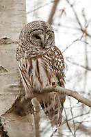 A barred owl perches near the trunk of a tree at rhe Reifel Migratory Bird Sanctuary In British Columbia, Canada<br />