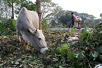 A cow eats on the side of the road on the outskirts of Kolkata.<br />