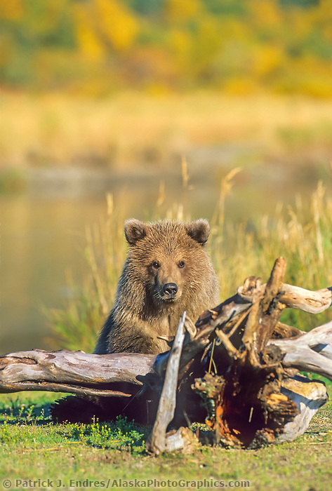 Coastal brown bear cub, Katmai National Park, Alaska.