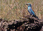 Abyssinian Roller (Coracias abyssinica), one of eight species of Rollers in Africa whose habitat is savanna woodlands, roadside farms and villages.  Name comes from the aerial rolling that is part of the courtship and territorial display.