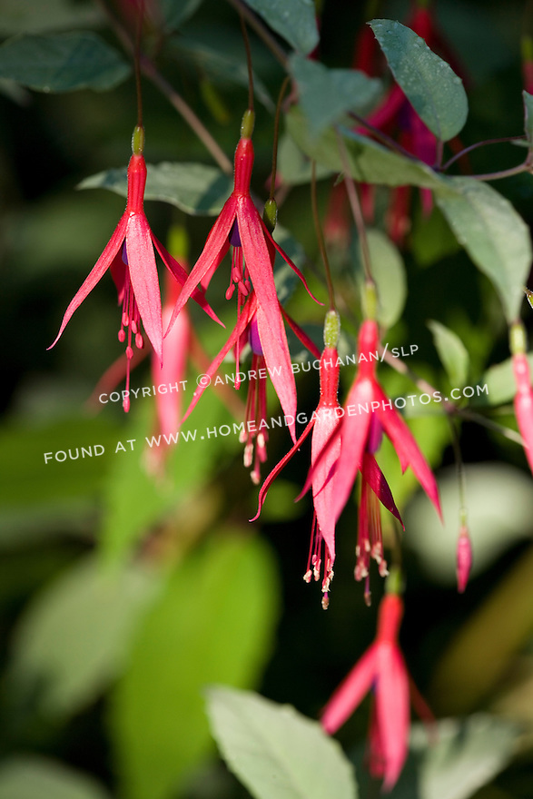 close-up detail of delicate pink and purple fuschia flowers glowing in the mrning sunlight