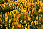 Coastal bush lupine, Prairie Creek, Redwood State Park