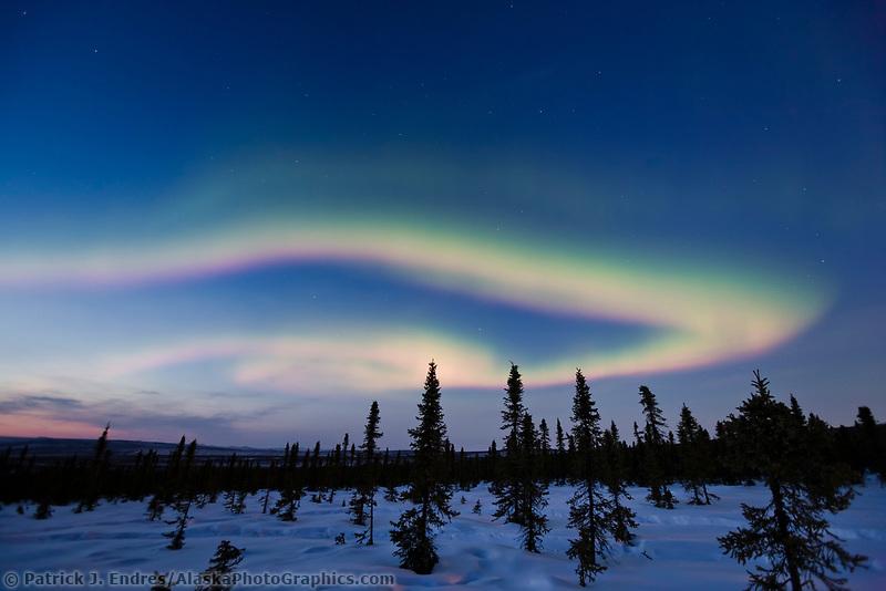 Aurora borealis over Spruce trees in the White Mountains National Recreation Area, Interior, Alaska.