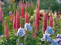 Lupine and iris. Schreiner' Iris Gardens. Salem. Oregon