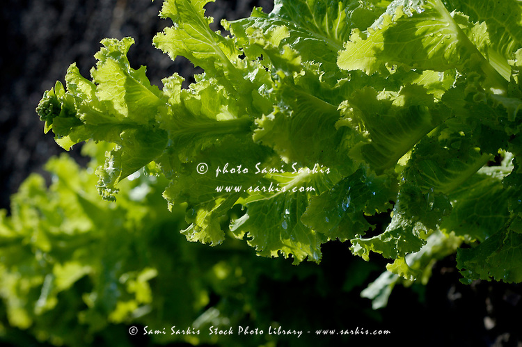 Drops on green lettuce after a rain shower.