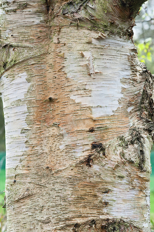 Close-up of bark on the trunk of a Szechuan or Sichuan White Birch (Betula szechuanica).