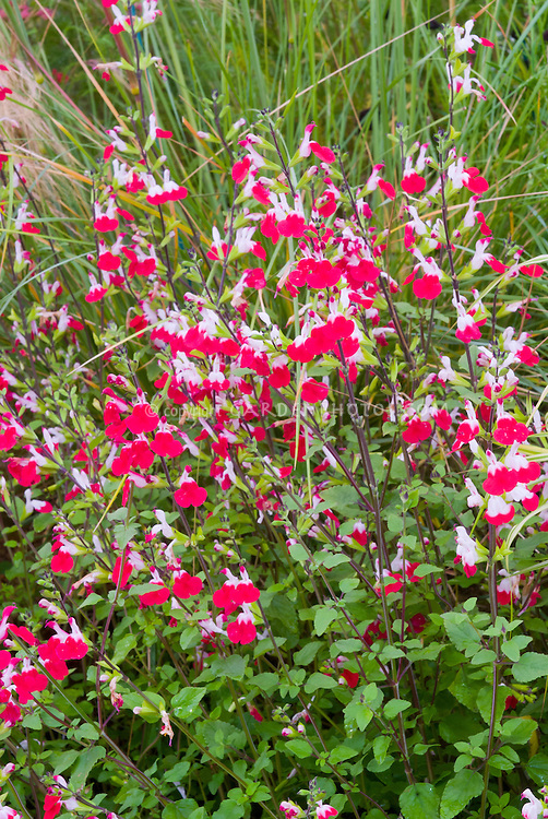 salvia x jamensis hot lips plant flower stock. Black Bedroom Furniture Sets. Home Design Ideas