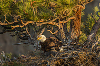 Bald Eagle Nest (Haliaeetus leucocephalus)--adult with several week old eaglet in tall ponderosa pine tree.  Oregon.  May.