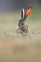 Black-tailed Jackrabbit (Lepus californicus), adult, Laredo, Webb County, South Texas, USA