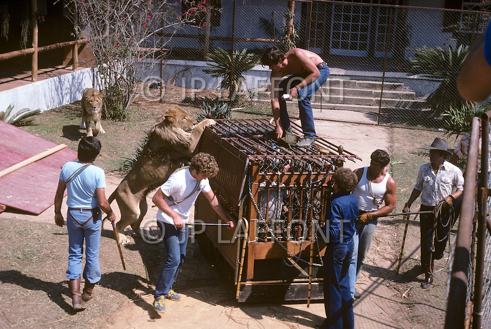 Vassouras, district of Rio de Janeiro, Brazil. 1981.  A family in Africa is besieged by a group of lions, driven mad by the drought. They have to survive multiple attacks but some of their colleagues are eaten by the lions. From the film Savage Harvest, directed by Robert E. Collins. Scene of the lions attacking the familly.