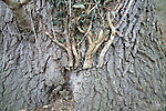 Cut off parasitic ivy creepers on tree trunk to protect tree