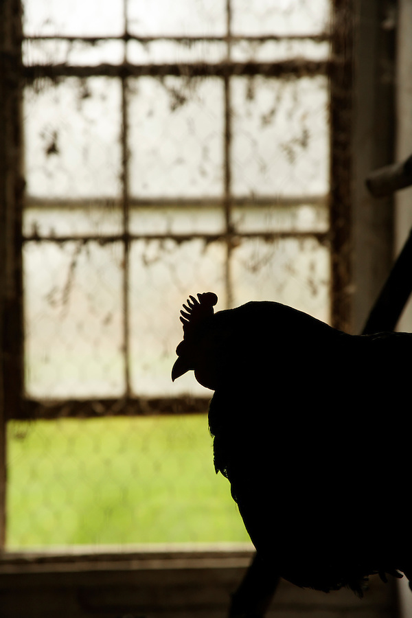 Chicken silhouetted in barnyard window