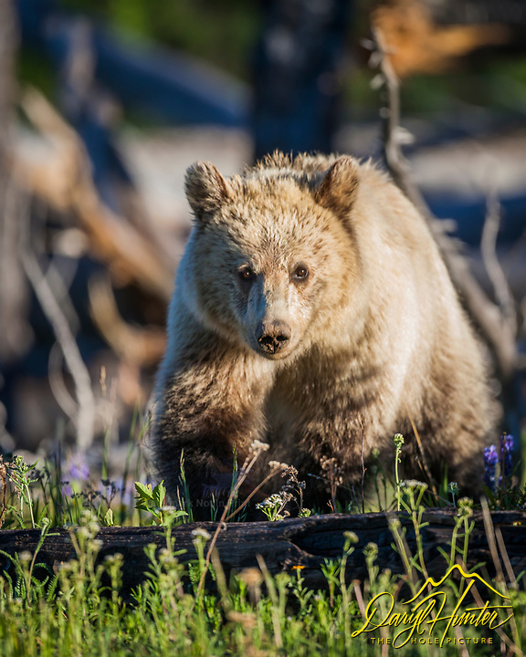 Snow, a two year old grizzly making it through the woods looking for the next morsel of forage in Yellowstone National Park.