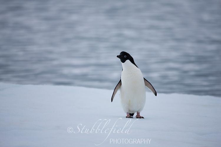 Adelie Penguin (Pygoscelis adeliae) on an ice floe off Paulet Island, Antarctica.