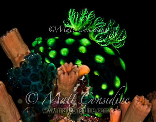 This green polka dotted nudibranch is an unusually colorful creature, Yap Micronesia <br /> (Photo by Matt Considine - Images of Asia Collection) (Matt Considine)