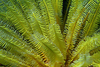 Brightly green colored Noble Feather Star (Comanthina nobilis), Dahofanu, Baa Atoll, Maldives.