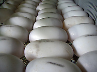 Crocodile eggs are removed from the wild and artificially incubated.   Each egg weighs around 113 grams and is 8 x 5 cm. Several hours after it's laid, the embryo attaches to the shell, creating a white spot on the eggshell. This spot will expand to encompass the whole shell as the embryo grows.