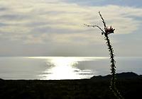 Ocotillo Desert of Sonora. Ocotillo. Desierto de Sonora<br /> Fouquieria splendens is a species within the genus Fouquieria of the family Fouquieriaceae. It is a flower plant adapted to live in the deserts of the southwest...<br /> <br /> Fouquieria splendens es una especie dentro del g&eacute;nero Fouquieria de la familia Fouquieriaceae. Se trata de una planta de flor adaptada a vivir en los desiertos del suroeste. <br /> (Photo:Isrrael Garnica/NortePhoto)