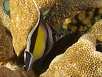 Apo Reef, Sulu Sea -- A Moorish Idol seeking shelter in a staghorn coral at night.