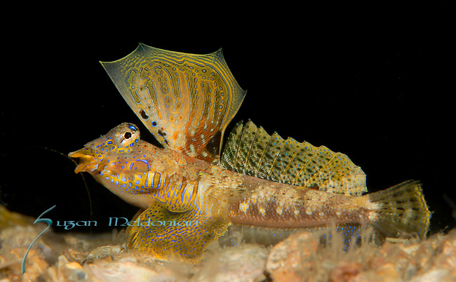 Lancer Dragonet, Paradiplogrammus bairdi, male Mating display