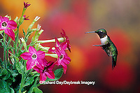 01162-08017  Ruby-throated Hummingbird (Archilochus colubris) male at Hummingbird Rose Pink Nicotiana (Nicotiana alata)  IL