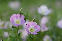 Showy Primrose (Oenothera speciosa), Hill Country, Texas, USA