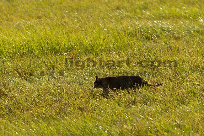 Katze auf der Pirsch, Apetlon, Nationalpark Neusiedlersee, Seewinkel, Bezirk Neusiedl am See, Burgenland, Austria, Österreich.