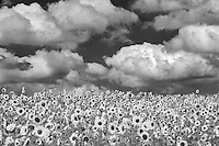 Sunflowers near Sherwood, Oregon. Sky has been added