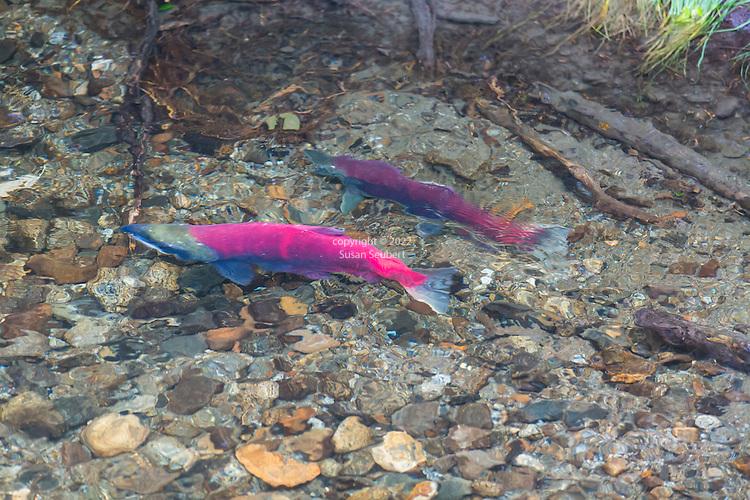 Sockeye Salmon spawning near the Mendenhall Glacier in Juneau Alaska