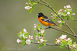 Baltimore Oriole (Icterus galbula) male perched amid apple blossom in spring, Freeville, New York, USA. (DC)