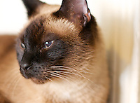 Siamese - my cats