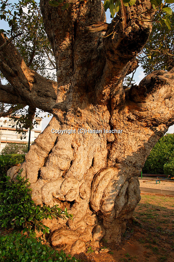 Israel, Coastal Plain. Sycamore tree (Ficus Sycomorus) in Ramat Gan