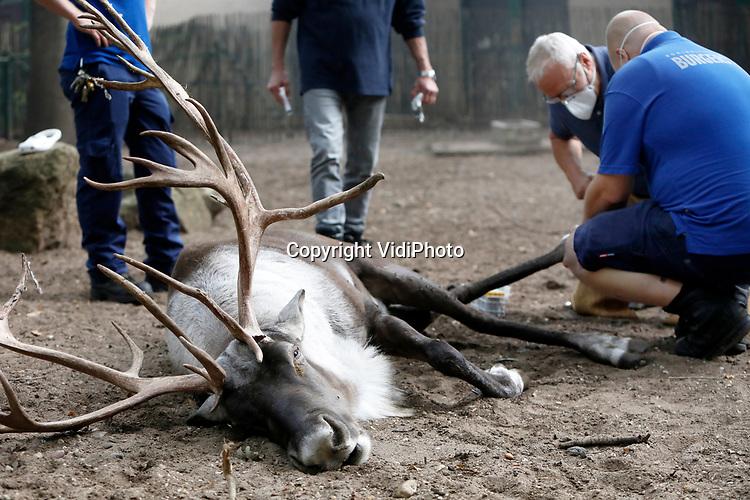 Foto: VidiPhoto<br /> <br /> ARNHEM – Een flinke gezondheidsupdate woensdag voor 'Rudolf', het mannetje bosrendier (Rangifer tarandus fennicus) van Burgers' Zoo in Arnhem. Het imposante beest ging onder narcose om zijn hoeven te kunnen kappen, die te lang worden. Daarnaast had het dier een vreemde bult op een knie die nader bekeken werd en werd er bloed afgenomen. Het bosrendiermannetje heeft een splinternieuw gewei. Rendieren zijn de enige hertensoorten waarbij zowel het mannetje als het vrouwtje een gewei dragen. Bosrendieren zijn zeldzamer dan de toendrarendieren, die door de Lappen succesvol gedomesticeerd zijn en als vee worden gehouden. Een bosrendier komt in het wild alleen voor in Finland en delen van Rusland. In de Europese dierentuinen leven maar weinig bosrendieren. Als de Kerstman bosrendieren voor zijn slee zou proberen te spannen, dan zou hij waarschijnlijk al snel over de kop slaan. Bosrendieren blijven veel wilder en zijn niet tot nauwelijks tam te maken.