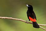 Passerini's Tanager (Ramphocelus passerinii), Costa Rica