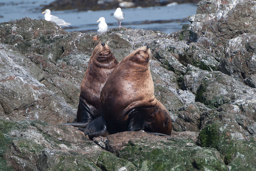 Steller Sea Lions (Eumetopias jubatus), San Juans Islands, Washington, US