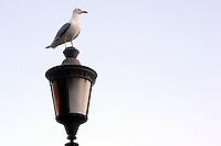 Gabbiano.Seagull.