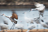 Sandhill Cranes Landing | Helena Island on the Wisconsin River | Aldo Leopold Foundation, Baraboo, Wisconsin | Sandhill cranes roost for the night on Helena Island, along the Wisconsin River at the Aldo Leopold Foundation near Baraboo, Wisconsin on Saturday, November 25, 2016 | Signature Edition Print by Greg Dixon | Digital Photograph with Oil Painting Effect