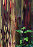 Green accent to a rainbow eucalyptus tree on Maui in Hawaii