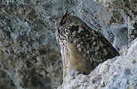 Eurasian Eagle Owl, Bubo bubo , adult at roost in cliff, Kaltbrunn, Switzerland, September 1998
